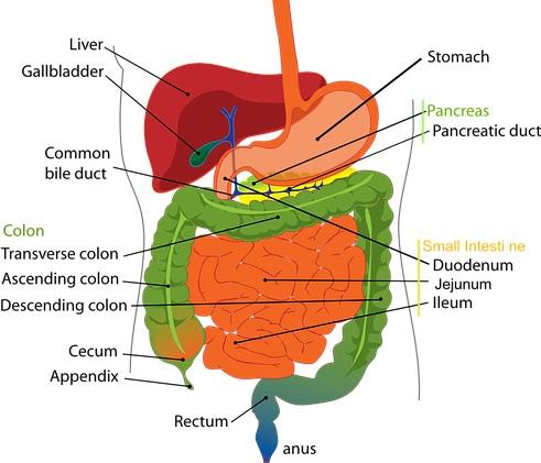digestivni-sistem