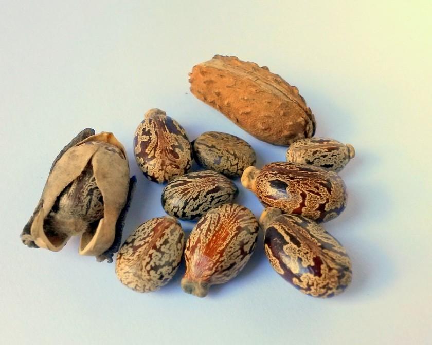 castor-oil-seeds-327186_960_720