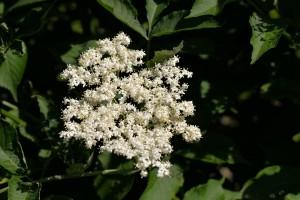 elderflower-1472467_960_720