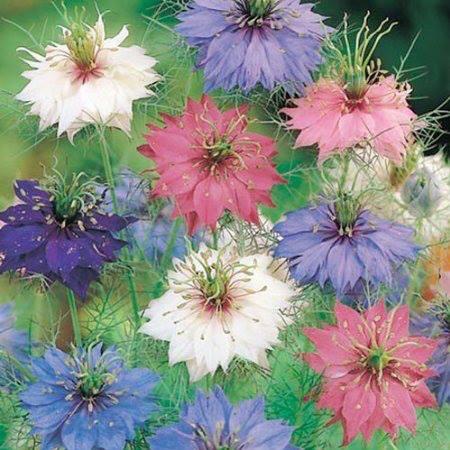 cvet kumina