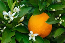 ulje neroli od cvetova pomorandze