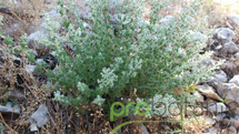 Wild oregano in nature