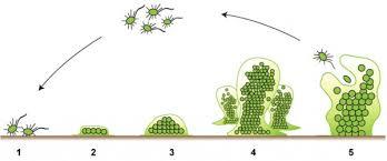 udruzivanje bakterija u biofilm