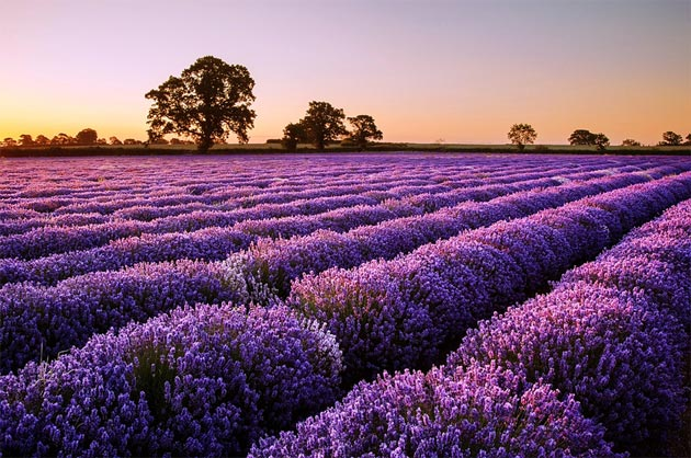 polja lavande