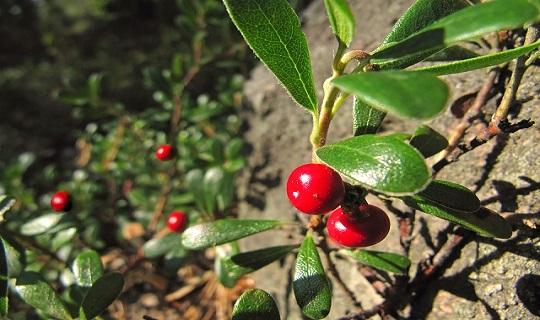 lingonberry-640978_960_720